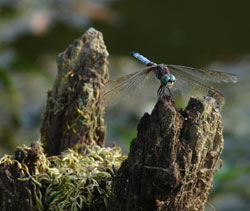 Dragonfly. Photo by Bet Zimmerman